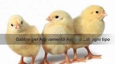 gabbie polli come trovare gabbie per polli galline ovaiole e pulcini