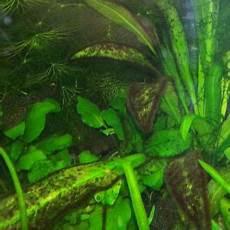 schwarzalgen schwarze algen im aquarium