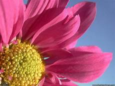 sfondo a fiori desktop wallpapers 187 flowers backgrounds 187 a big pink