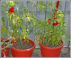 tomaten pflanzen balkon tipps balkon house und dekor