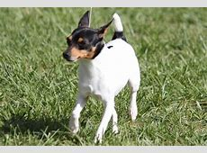 Toy Fox Terrier Breed Information, Toy Fox Terrier Images