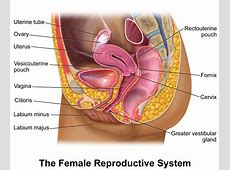 female reproductive system model labeled