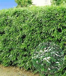 Winterharte Bambus Hecke Im 2 Liter Bambus Bei Baldur Garten
