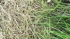 Wie Gelber Rasen Wieder Sch 246 N Gr 252 N Wird