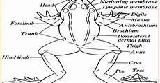 Gambar Anatomi Katak Sawah Kata Kata
