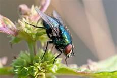 chasser les mouches chasser les mouches les m 233 thodes naturelles les plus effectives