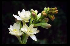 tuberose fiori i fiori da giardino
