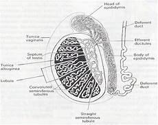 Sistem Reproduksi Pria Dan Wanita Citizen Midwives