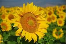 significato girasole nel linguaggio dei fiori dillo con un fiore denittis1a