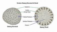 Struktur Batang Monokotil Dan Dikotil Beserta Fungsinya