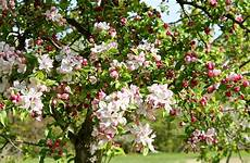 apple blossom time in new back road journal