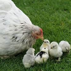 nourriture poules pondeuses alimentation poule pondeuse nourriture poule pondeuse