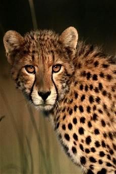 cheetah wallpaper for iphone animals iphone wallpaper idesign iphone
