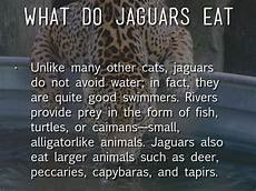 jaguar where do they live schoolwork weebly