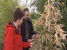Bambus Braune Blätter - mdr garten bambuspflanzen nach dem winter bambuspflege