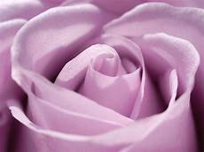 purple roses backgrounds wallpaper cave