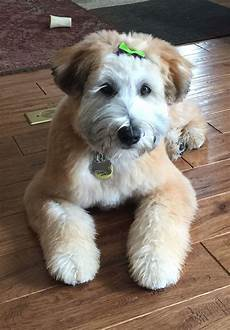 soft coated wheaten terrier haircut photos pin by coco bear s american soft coated wheaten first haircut 5 months from crystal at westin
