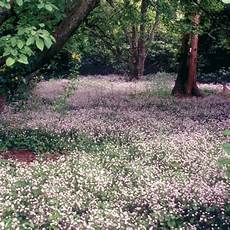 claytonia sibirica est une vivace couvre sol 224 feuillage