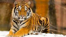 Wallpaper Beautiful Home Screen Tigers top 35 most beautiful tiger wallpapers