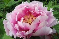 nomi fiori giapponesi fiori giapponesi significato significato fiori
