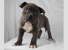 Amerikaanse Stafford pups   Honden