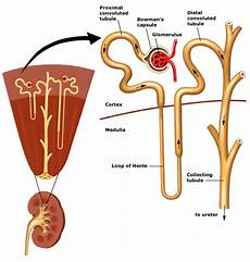 Secret Gambar Morfologi Anatomi Dan Nefron Ginjal