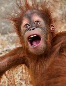 Orang Utan Baby Foto Bild Archiv A R C H I V Aktuell