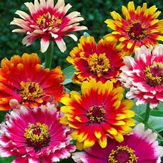 Zinnia Quot Carrousel Mixed Quot Seeds