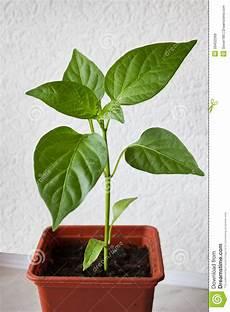 peperoni in vaso peperoni della plantula piantina in un vaso immagine