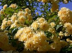 rosier liane sans epine rosa banksiae lutea plena rosier de banks jaune