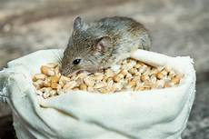 Mäuse Im Haus - ungebetene g 228 ste im haus was hilft gegen m 228 use www