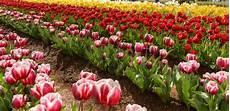 tulpen pflege nach der blüte tulpen pflanzen tulpenzwiebeln im eigenen garten anbauen