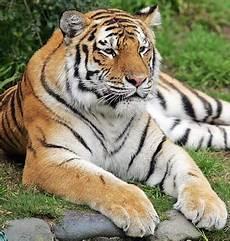 Gambar Harimau Indonesiadalamtulisan Terbaru 2014
