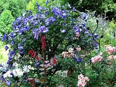 hibiskus hochstamm schneiden hibiscus treibt nicht aus page 3 mein sch 246 ner garten forum