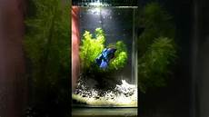 34 Keren Abis Gambar Ikan Cupang Dalam Aquarium