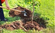 quand planter des arbustes comment planter les arbres fruitiers conseils de p 233 pini 233 riste les carnets de georges delbard