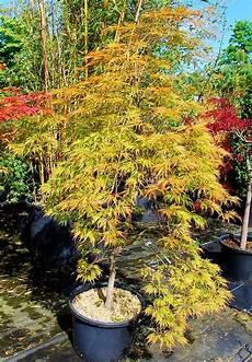 plantes oasis erable du japon dissectum shinonome acer