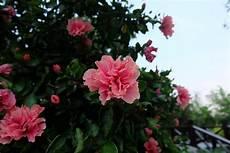 coltivare azalee in vaso come coltivare l azalea guida coltivazione