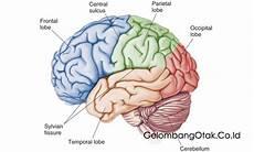 Gambar Memahami Anatomi Otak Fungsi Manusia Cerebrum