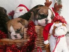 adorable christmas puppies 1funny com