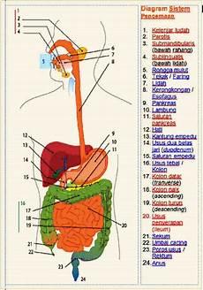 Makalah Anatomi Sistem Digestivus Wong Ndeso