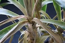 palme umtopfen wurzeln abschneiden yucca palme schneiden 7 schnittanleitungen f 252 r ein