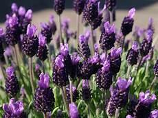 Schopf Lavendel Lavandula Stoechas Bestes Stauden Wissen