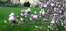 magnolia fiore magnolie regine di primavera vivai michelinivivai michelini