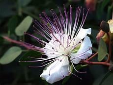 ca fiore fiore di cappero foto immagini piante fiori e funghi