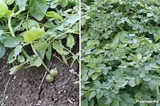 planter les pommes de terre culture recolte et maladies