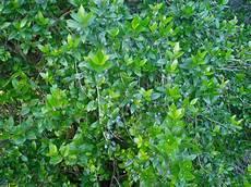 fiori di mirto arbusti e piante scheda mirto myrtus communis