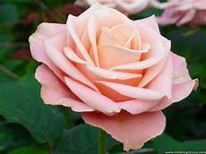 wallpaper rose light important wallpapers
