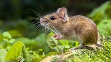 The Mystery Of Aussie Mouse Plagues National
