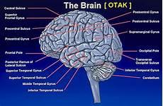 Ilmu Kesehatan Anatomi Otak